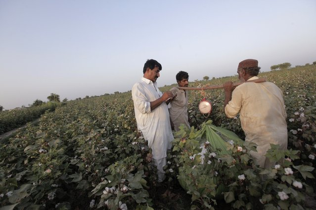 A man makes notes while others carry a bundle of cotton blooms attached to a weighing scale in a field in Meeran Pur village, north of Karachi September 25, 2014. (Photo by Akhtar Soomro/Reuters)