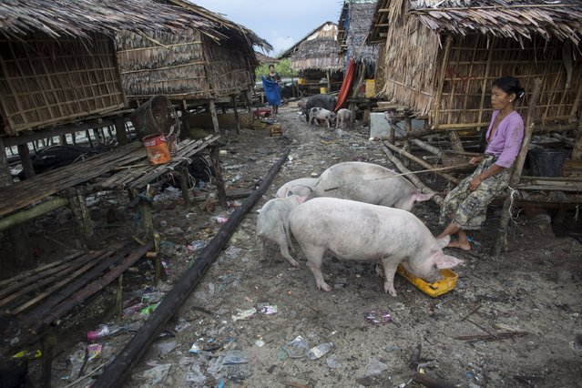 A woman feeds her pigs at her home in Kyaukpyu township, Rakhine state, Myanmar October 6, 2015. (Photo by Soe Zeya Tun/Reuters)