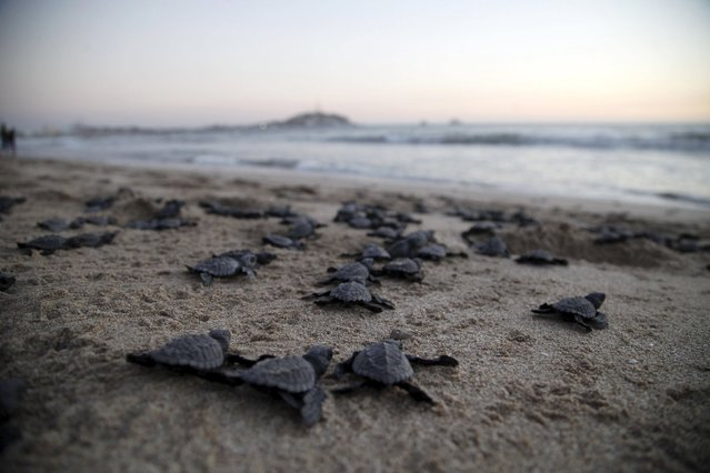 Olive Ridley turtle hatchlings (Lepidochelys olivacea) crawl to the ocean after being released in Mazatlan, Mexico, November 7, 2015. (Photo by Reuters/Stringer)