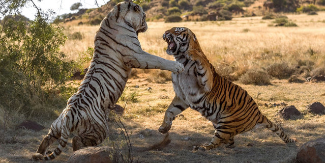 Dont get catty. These roar-some images show the moment two female tigers came to blows in a bitter dispute over territory. Rarely ever seen in the wild let alone on camera, the dramatic images show a white Siberian tiger and orange-coloured tiger slashing ferociously at each others face and eyes. (Photo by Alex Kirichko/Caters News/SIPA Press)
