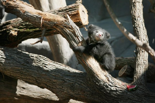 """A sloth bear cub explores its enclosure at the Brookfield Zoo on May 10 in Brookfield, Illinois. The cub is one of two born on January 20 to their 10-year-old mother """"Hani"""". The cubs, which were making their public debut, were the first successful sloth bear births at the Zoo. (Photo by Scott Olson/Getty Images)"""