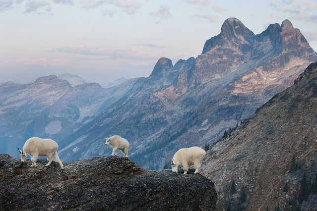 The dominant adult goats and their kid walk along the top of a tall cliff just after sunrise. Alpine rocks contain minerals that the goats lick to obtain necessary salts. (Photo by Connor Stefanison/Fritz Pölking Prize/GDT EWPY 2015)