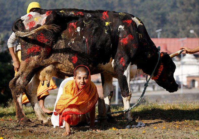A young Hindu priest crawls under a cow during a religious ceremony celebrating the Tihar festival, also called Diwali, in Kathmandu, Nepal October 30, 2016. (Photo by Navesh Chitrakar/Reuters)