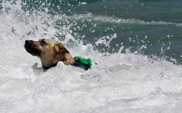 A dog enjoys the rough surf. (Photo by Taylor Jones/The Palm Beach Post)