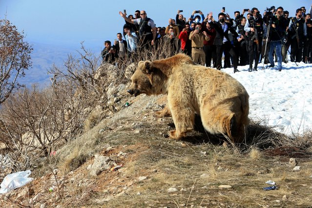 People look at a bear after Kurdish animal rights activists released it into the wild after rescuing bears from captivity in people homes, in Dohuk, Iraq on February 11, 2021. (Photo by Ari Jalal/Reuters)