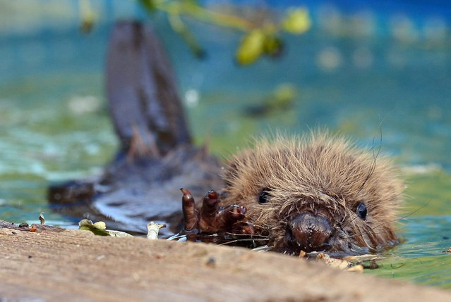 """In this picture made available Thursday July 11, 2013, three-month-old beaver """"Momo"""" swims in the pool of the wild animal facility in Klein Offenseth-Sparrieshoop, Germany, Wednesday July 10, 2013. Momo was found alone on a dike after the flooding in Germany. (Photo by Axel Heimken/AP Photo/Dpa)"""