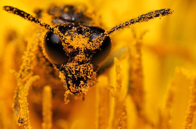 Wasp. (Photo by Boris Godfroid)