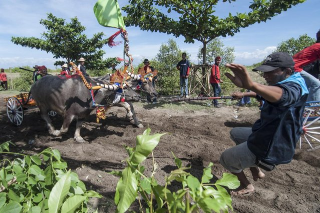 "A man tries to avoid the running water buffalo during ""Mekepung"" traditional water buffalo race on July 28, 2013 in Jembrana, Bali, Indonesia. Meaning ""to chase around"", Mekepung is a race of water buffaloes driven by a jockey and was originally designed as a fun game for peasants to spend their free time between the end of harvest and the start of the planting season (Photo by Putu Sayoga/Getty Images)"