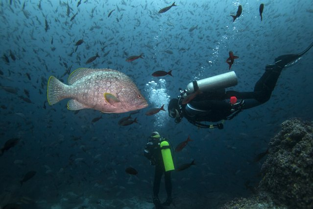 A scuba diver swims next to a Leather Bass close to Wolf Island at Galapagos Marine Reserve August 19, 2013. (Photo by Jorge Silva/Reuters)