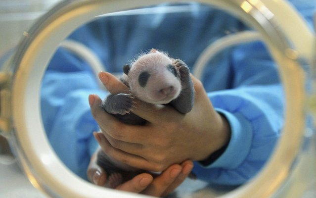 A feeder holds a giant panda cub who was the only survivor of the triplets given birth by giant panda Jiaozi in August, at the Chengdu Research Base of Giant Panda Breeding in Chengdu, Sichuan province September 5, 2013. (Photo by Reuters/Stringer)