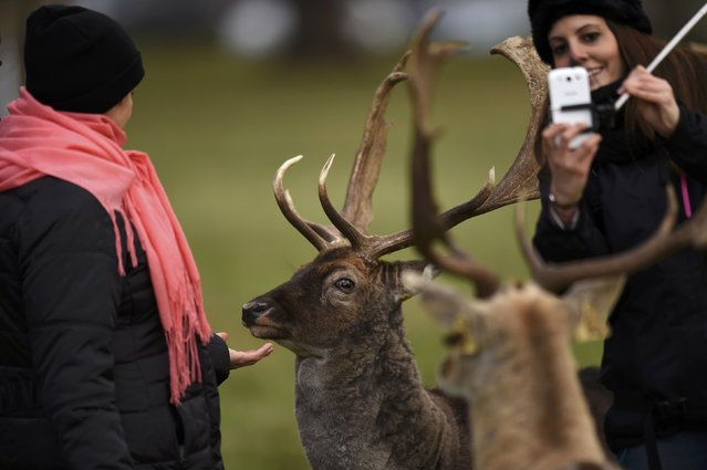 People take pictures of deer in the Phoenix Park in Dublin, Ireland December 5, 2016. (Photo by Clodagh Kilcoyne/Reuters)