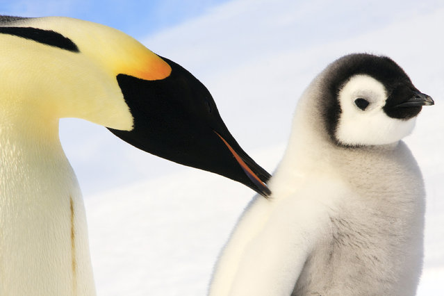 A baby Emperor Penguin and his mother. (Photo by Dafna Ben Nun/Caters News)