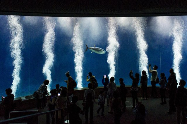 People look at a Pacific bluefin tuna as it swims in a tank in the Tokyo Sea Life Park in Tokyo, April 2, 2015. All but one of the nearly 160 tuna and bonito fish have died for unknown reasons over recent months, leaving this one tuna the last remaining fish of the vast tank's original population, local media reported. (Photo by Thomas Peter/Reuters)