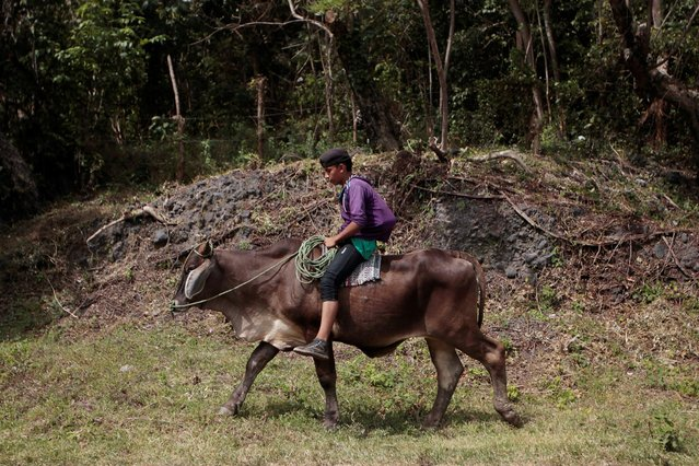A boy rides a bull in Altagracia town, Nicaragua January 7, 2017. (Photo by Oswaldo Rivas/Reuters)