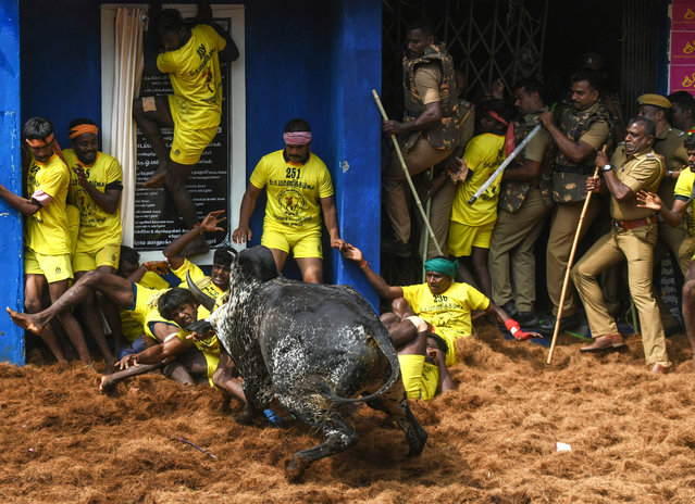 "Indian participants fall while they are charged by a bull at the annual bull-wrestling event ""Jallikattu"" in Allanganallur village on the outskirts of Madurai in the southern state of Tamil Nadu on January 17, 2019. Dozens of young men were injured on the first day of a traditional bull-wrestling festival in southern India that has attracted the ire of animal activists, officials said January 16. (Photo by Arun Sankar/AFP Photo)"