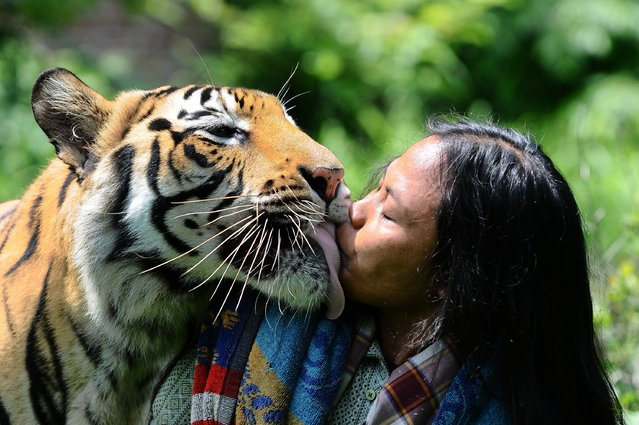 Mulan Jamilah, a 6-year-old Bengal tiger, kisses caretaker Abdullah Sholeh, 33, in the garden beside their home on January 20, 2014 in Malang, Indonesia. (Photo by Robertus Pudyanto/Getty Images)