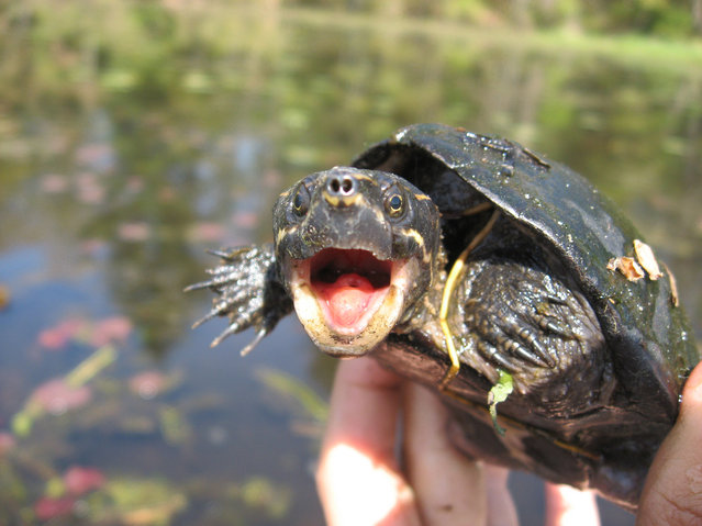 Eastern musk turtle, MA. (Photo by Sternotherus124)