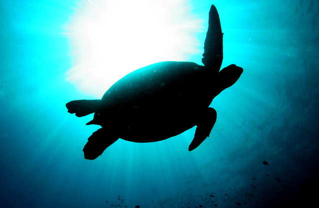 A giant green turtle is silhouetted as it swims underwater at a diving site near the island of Sipadan in Celebes Sea east of Borneo November 7, 2005. (Photo by Peter Andrews/Reuters)