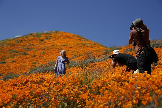 A model poses among wildflowers in bloom Monday, March 18, 2019, in Lake Elsinore, Calif. About 150,000 people flocked over the weekend to see this year's rain-fed flaming orange patches of poppies lighting up the hillsides near Lake Elsinores, about a 90-minute drive from either San Diego or Los Angeles. The crowds became so bad Sunday that Lake Elsinore officials  closed access to poppy-blanketed Walker Canyon. By Monday the #poppyshutdown announced by the city on Twitter was over and the road to the canyon was re-opened. (Photo by Gregory Bull/AP Photo)