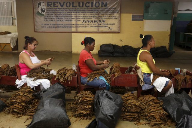Workers prepare tobacco leaves at the Congreso Campesino tobacco factory in San Juan y Martinez, Pinar del Rio province, Cuba, March 1, 2016. (Photo by Reuters/Stringer)