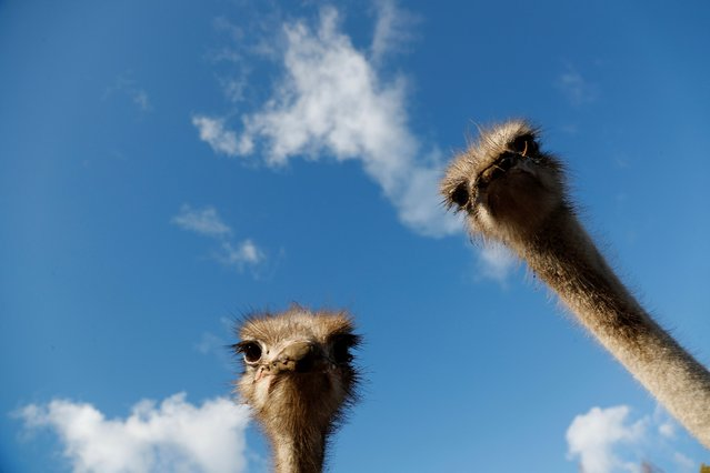"""African ostrichs are seen during sunny autumn day in the largest ostrich farm """"Nornieki"""" in Snepele, Latvia, 18 October 2021. (Photo by Toms Kalnins/EPA/EFE)"""