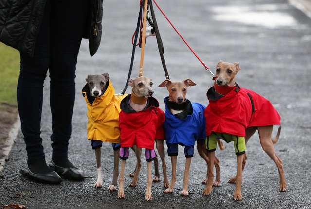 """Dogs and their owners arrive to attend the second day of the Crufts dog show at the NEC on March 7, 2014 in Birmingham, England. Said to be the largest show of its kind in the world, the annual four-day event, features thousands of dogs, with competitors travelling from countries across the globe to take part. Crufts, which was first held in 1891 and sees thousands of dogs vie for the coveted title of """"Best in Show"""". (Photo by Matt Cardy/Getty Images)"""
