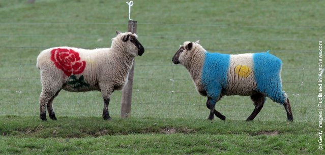 Sheep, painted in the colours of World Cup participating country