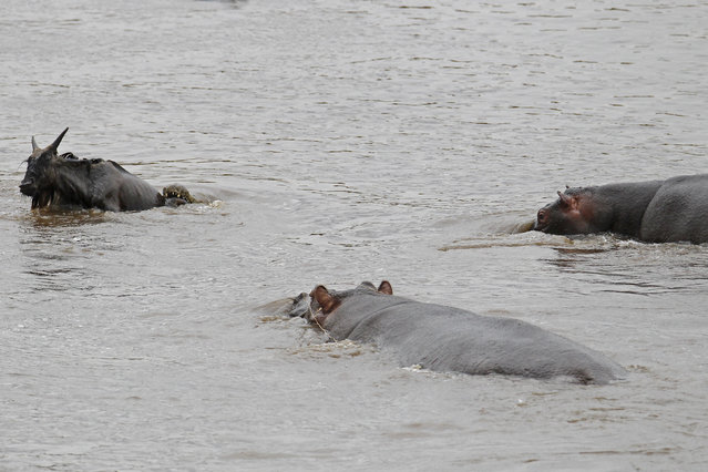 Another hippo notices the struggling animal and makes its way through the water. (Photo by Vadim Onishchenko/Caters News)