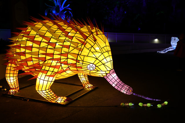 An illuminated lantern sculpture of a echidna during the media preview of Vivid Sydney at Taronga Zoo on May 19, 2019 in Sydney, Australia. (Photo by Richard Milnes/Rex Features/Shutterstock)