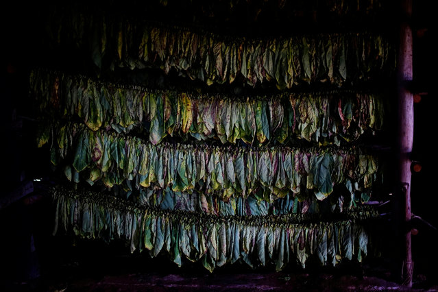 Tobacco leaves hang inside a curing barn at a farm in Cuba's western province of Pinar del Rio, Cuba on March 3, 2017. (Photo by Alexandre Meneghini/Reuters)