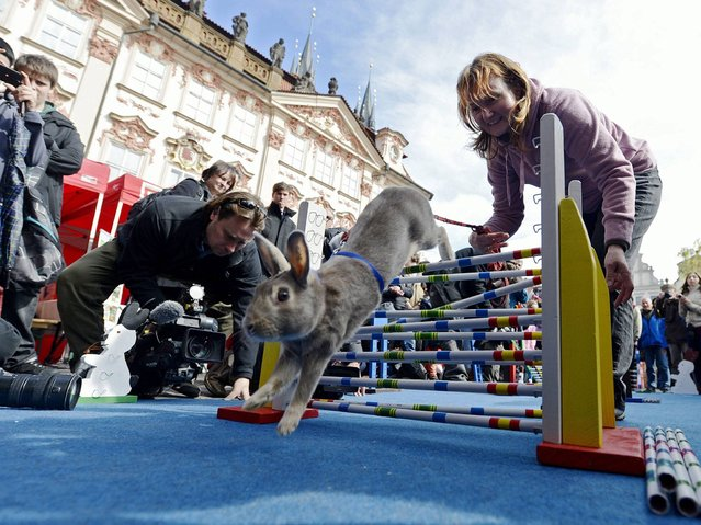 While Prague's bunny hop competition was centered around the Easter holiday, there are numerous official rabbit jumping contests in Europe. (Photo by Filip Singer/EPA)