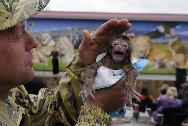 Taigan Safari Park director Oleg Zubkov holds a newly born Japanese macaque monkey in the Taigan Safari Park, about 50 km (31 miles) east of Simferopol, Crimea, Saturday, April 12, 2014. The Taigan Safari Park, created in 2012, is home to some 50 lions and a unique attraction in Eastern Europe. Visitors have the opportunity to see lions on the range as the park is equipped with special observation decks with total length of one kilometer. (Photo by Alexander Polegenko/AP Photo)