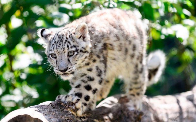 A baby snow leopard walks through its enclosure at the Wilhelma zoo in Stuttgart, southern Germany, on August 13, 2019. The animal is one of two snow leopard cubs born at the zoo on April 29, 2019. (Photo by Edith Geuppert/dpa/AFP Photo)