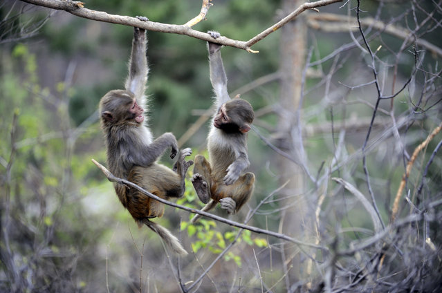 Two macaques play in a tree on Shuangta mountain in Chengde City, north China's Hebei province. (Photo by Xinhua/Rex Features/Shutterstock)