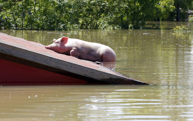 "A pig is stranded on a roof during heavy floods in Vojskova, May 19, 2014. More than a quarter of Bosnia's four million people have been affected by the worst floods to hit the Balkans in more than a century, the government said on Monday, warning of ""terrifying"" destruction comparable to the country's 1992-95 war. (Photo by Srdjan Zivulovic/Reuters)"
