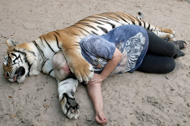 Would you cuddle a big cat? (Photo by Ruaridh Connellan/Barcroft Media)