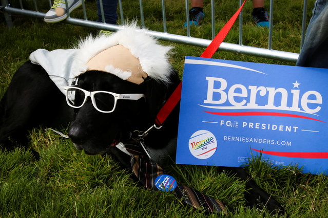 Frisco, a black labrador, is seen next to a placard supporting Democratic U.S. presidential candidate Bernie Sanders at a campaign rally in San Francisco, California, U.S. June 6, 2016. (Photo by Elijah Nouvelage/Reuters)