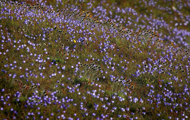 A field of wildflowers blooms on a hill outside in Tasiilaq. (Photo by Bob Strong/Reuters)