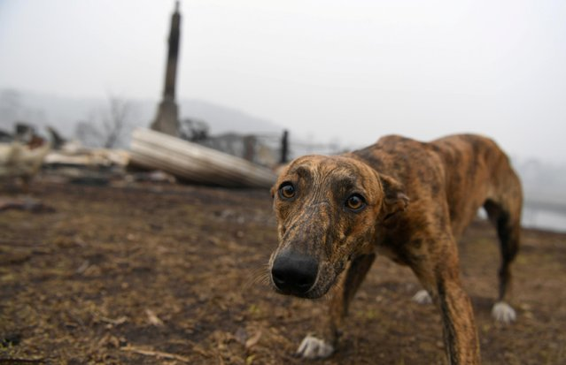 A dog visits the burnt out property of its owner's family member in Kia, Australia on January 8, 2020. (Photo by Tracey Nearmy/Reuters)