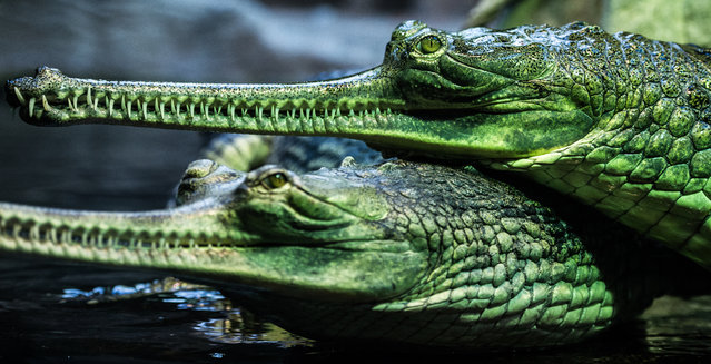 Two  Indian gharials are seen in their basin in the Prague zoo, Czech Republic, 26 August 2015. In the 1970s the gharial came to the brink of extinction and even now remains on the critically endangered list. Prague zoo is the only Europe zoo breeding them. (Photo by Filip Singer/EPA)