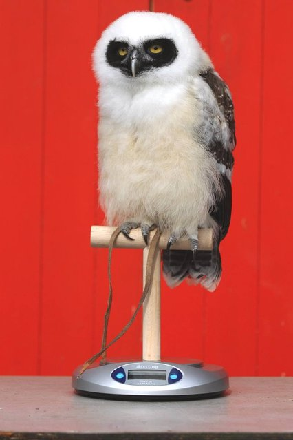 'Elton' the spectacled owl is weighed and measured during ZSL London Zoo's annual weigh-in on August 22, 2012 in London, England