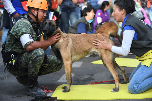 Rescue dogs receive a massage from a volunteer during a break from participating in the search for survivors and bodies in Mexico City on September 22, 2017, three days after a powerful quake hit central Mexico. (Photo by Pedro Pardo/AFP Photo)
