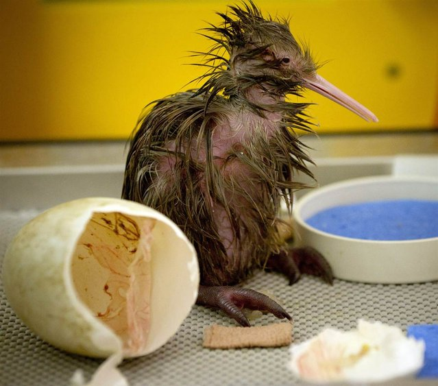A kiwi chick hatches at Auckland Zoo in New Zealand on September 12, 2012. (Photo by Greg Bowker/AP Photo)