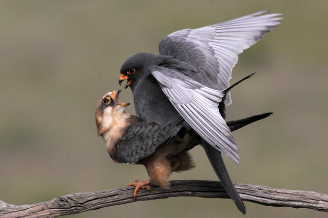 Red-footed falcons (Falco vespertinus) mate near Tiszaalpar, Hungary 30 April 2020. (Photo by Attila Kovacs/EPA/EFE)