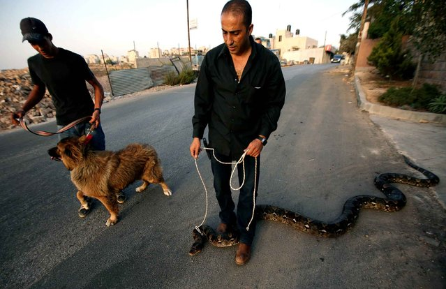 Palestinian Jamal al-Amuasi (R) displays one of his pythons and a Tibetan Mastiff outside his house in Betunia, near the West Bank city of Ramallah, on September 27, 2014. Amuasi, who has 25 snakes at his family property, said he breads dogs and reptiles as a hobby. (Photo by Abbas Momani/AFP Photo)
