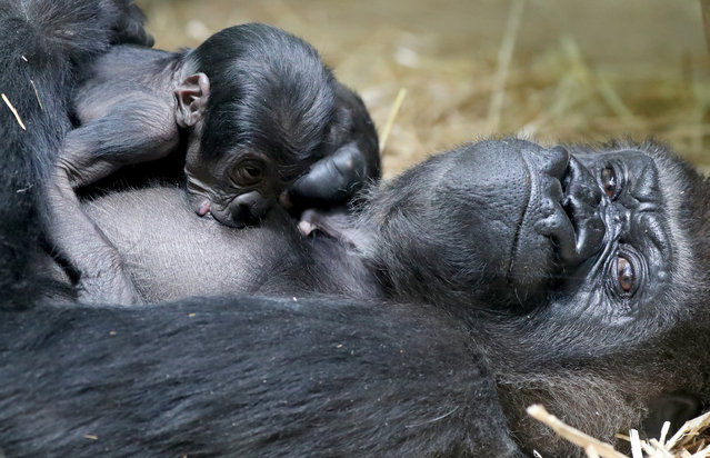 A new born baby Western lowland gorilla is seen with its mother Mambele at the Antwerp zoo in Antwerp, Belgium on June 25, 2020. (Photo by Yves Herman/Reuters)