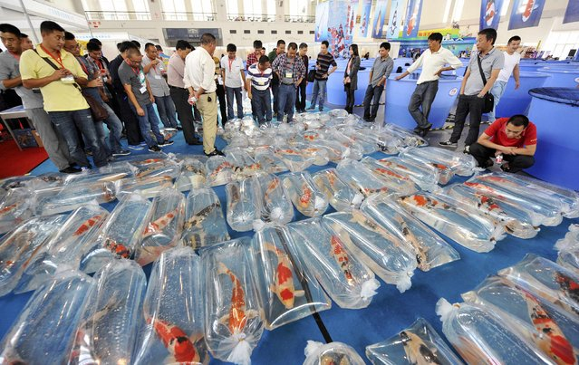 Judges and visitors look at Koi carps in plastic bags during a Koi carp competition and exhibition in Ningbo, Zhejiang province October 11, 2014. Hundreds of Koi carps were on display during the competition, where they were judged based on various factors including size, colour, pattern and swimming posture, local media reported. (Photo by Reuters/Stringer)