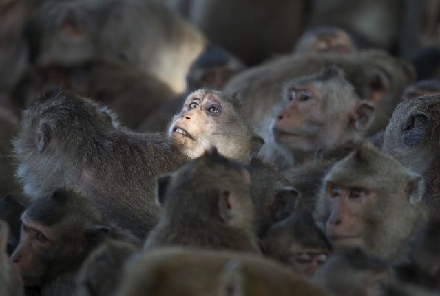 Long-tailed macaques are seen in a cage at a village in Bangkok, Thailand, September 21, 2015. (Photo by Chaiwat Subprasom/Reuters)