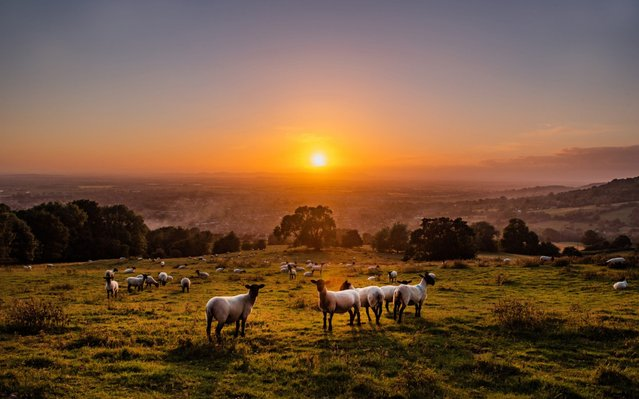 The Sheep watch the sunset from the top of Cleeve Hill, Cheltenham, United Kingdom on June 22, 2020. (Photo by Jack Boskett/The Telegraph)