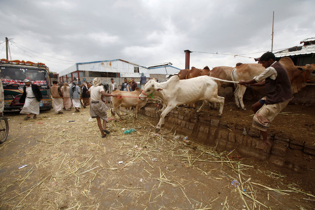 Traders try to control a bull at a cattle market ahead of the Eid al-Adha festival in Sanaa, Yemen September 10, 2016. (Photo by Mohamed al-Sayaghi/Reuters)